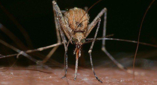 Vírus EEE, transmitido por algumas espécies de Culex, ataca o cérebro