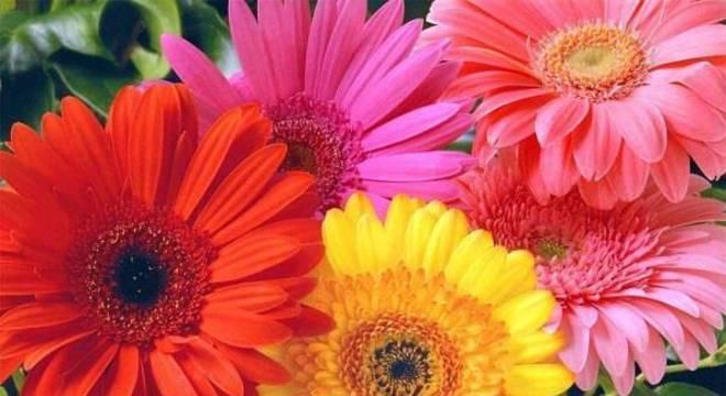 Cultive diferentes tonalidades de flor gérbera
