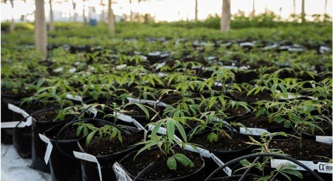 Apenas uma ONG tem autorização da Justiça brasileira para produzir medicamentos a partir da Cannabis