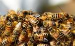 Quantas abelhas vivem em cada colônia?De acordo com André Sezerino, engenheiro agrônomo especialista emapicultura, cada colmeia pode ter entre 80 e 90 mil abelhas, somadas as operárias, os zangões e também as abelhas-rainha. No inverno, segundo ele, esse número pode diminuir devido a escassez de alimentos