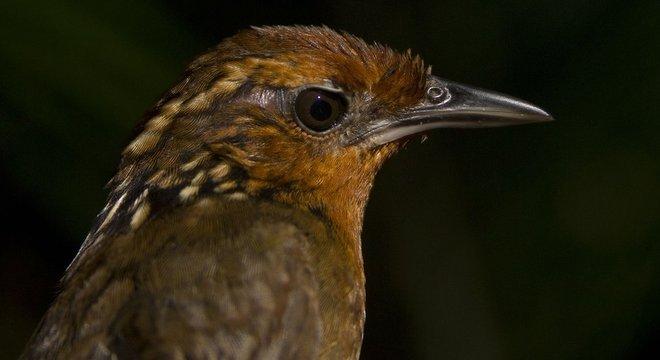 Estudo envolveu espécies como Cyphorhinus arada-uirapuru-verdadeiro