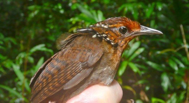 Cyphorhinus arada-uirapuru-verdadeiro é uma espécie de ave que se alimenta no solo