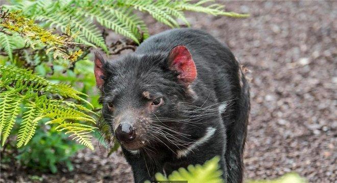 Demônios da Tasmânia enfrentam uma forma misteriosa de câncer da face que pode ameaçar sua sobrevivência