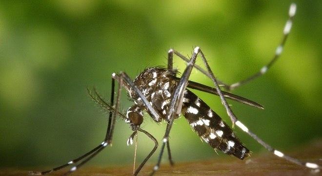 Mosquito Aedes aegypti transmite dengue e zika vírus