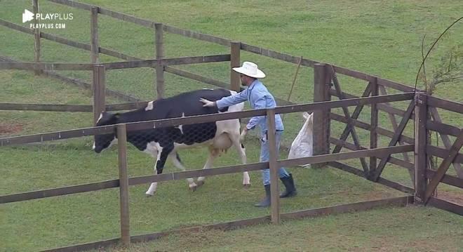 Diego teve dificuldade ao conduzir a vaca para o lugar correto