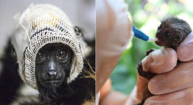 Mais de 2 mil primatas brasileiros já foram socorridos pelo Projeto Mucky