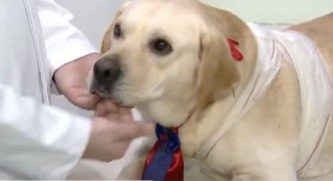 Dogão no veterinário após ser esfaqueado