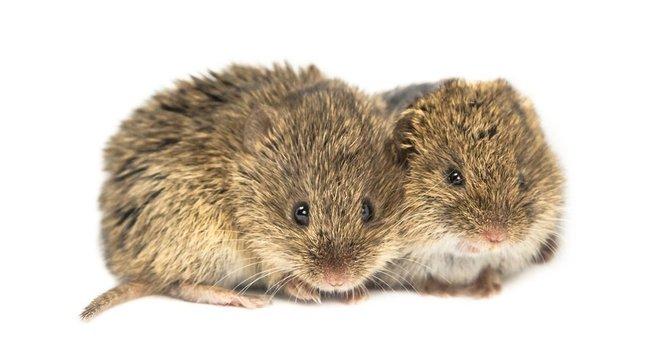 Ratos, assim como golfinhos, cães e elefantes, entre outros, são capazes de confortar um parceiro que está sofrendo