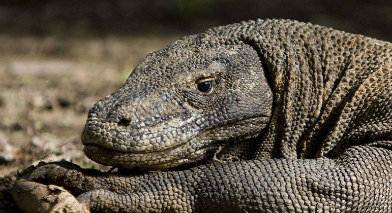 Dragão-de-komodo é uma espécie que corre risco de extinção