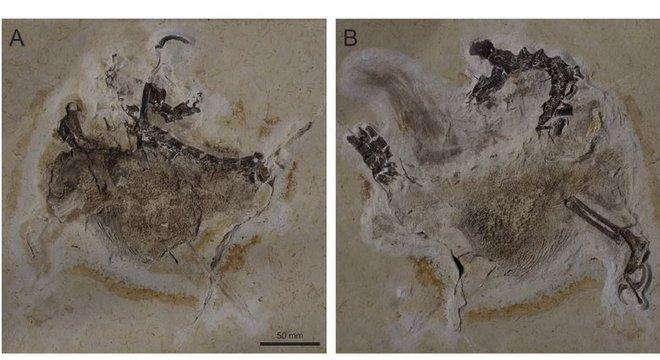 Fóssil parcialmente preservado foi encontrado no Ceará e está atualmente em museu na Alemanha