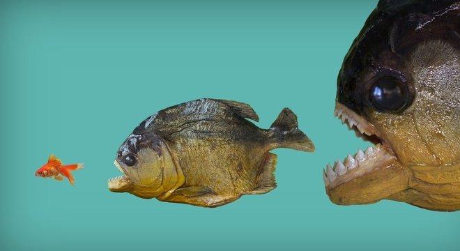 Como escapar da poderosa mordida da piranha? Só mesmo um longo processo evolutivo pode apresentar truques... Pesquisas com o pirarucu no Brasil