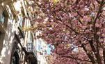 """BRUSELAS, 26/04/2021.- La floración de los cerezos japoneses, icono estético del país nipón que se conoce como """"sakura"""", tiñe estos días con flores compactas como bolas de nata rosada muchas calles de Bruselas, y en concreto las del barrio de Schaerbeek donde nació el cantante Jacques Brel y residió el pintor René Magritte. EFE/ Javier Albisu"""