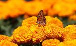CIUDAD DE MÉXICO (MÉXICO), 04/10/2020.- Fotografía de una mariposa en un cultivo de flor de cempasúchil el 3 de octubre de 2020, en Xochimilco de Ciudad de México(México). La siembra de cempasúchil, tradicional flor para simbolizar el Día de Muertos en México, continúa en el tradicional y mítico pueblo de Xochimilco, al sur de la capital, con medidas adicionales para evitar contagios de coronavirus y el afán de alimentar, un año más, la relación con el más allá. EFE/José Pazos