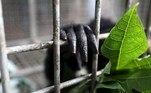 -FOTODELDÍA- EA4644. BANDA ACEH (INDONESIA), 27/05/2021.- La mano de un ejemplar de siamang (Symphalangus syndactylus) asoma por los barrotes de una jaula en el centro de rehabilitación de animales en peligro de extinción gestionado por la Agencia de Conservación de la Naturaleza de Aceh en Banda Aceh, Indonesia, este jueves. El animal fue entregado por un habitante de la zona que lo tenía en su casa como mascota y será devuelto a su hábitat natural en unos meses. EFE/ Hotli Simanjuntak