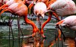 Dresden (Germany).- American flamingos (Phoenicopterus ruber) are pictured wading in their enclosure at the Dresden Zoo in Dresden, eastern Germany, 04 May 2020 (reissued 14 May 2020). Orange is the color that envelopes tires that burn in the streets during social unrest and the flames that turn structures to ash during four-alarm fires. It is the color of the lava that flows down the facades of volcanoes and the color of fireworks that illuminate the skies as people gather to celebrate the new year. (Incendio, Alemania, Dresde) EFE/EPA/FILIP SINGER ATTENTION: This Image is part of a PHOTO SET *** Local Caption *** 56063389