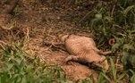 AME4716. PORTO JOFRE (BRASIL), 14/09/2020.- Fotografía de un cocodrilo muerto por los incendios forestales, el 13 de septiembre de 2020 en Porto Jofre, estado de Mato Grosso (Brasil). La fauna silvestre del Pantanal brasileño, con especies amenazadas de extinción, vive a cada día jornadas épicas por su supervivencia y evitar ser alcanzada por los incendios forestales que se arrastran en el mayor humedal del mundo y dejan desolada parte del bioma compartido con Paraguay y Bolivia. EFE/Rogério Florentino