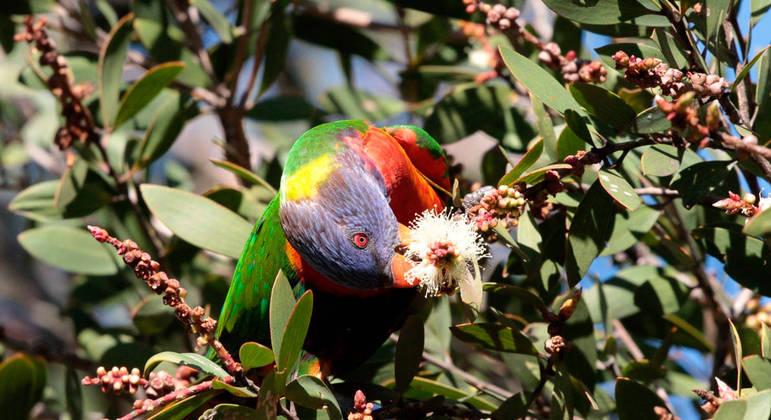 Trichoglossus moluccanus é um tipo de papagaio colorido encontrado na Austrália