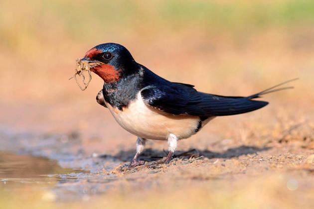 Fotografía facilitada por la Sociedad Española de Ornitología que muestra un ejemplar de golondrina común. EFE/cedida