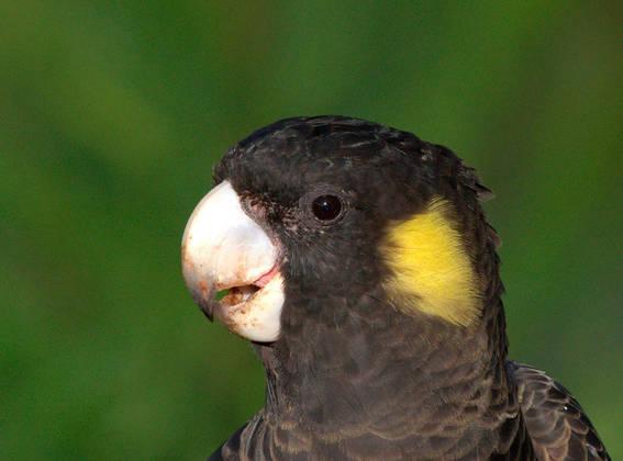 Cacatua de cola amarilla.. Foto: Dr. Corey T. Callaghan