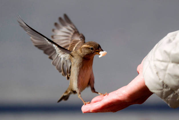 Un gorrión come una miga de pan de la mano de un turista en Berlín (Alemania). EFE/Kay Nietfeld