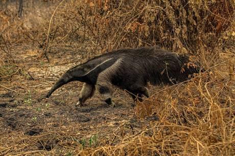 Tamanduá em área queimada do Pantanal