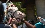 -FOTODELDÍA- EA5335. CHENNAI, 02/07/2021.- Un veterinario intenta tomar una muestra nasal de un caballo utilizado para paseos en la playa y bodas, durante la vacunación anual (no realacionada con el coronavirus) establecida por el bienestar de los caballos, este viernes en Chennai, India. EFE/IDREES MOHAMMED