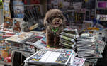 Hong Kong (China), 18/06/2021.- A poodle stands next to copies of Apple Daily newspaper for sale at a news stand in Hong Kong, China, 18 June 2021. The pro-democracy newspaper made print-run of 500,000 for 18 June 2021, a day after Hong Kong'Äôs national security police arrested five directors at the newspaper on suspicion of conspiracy to collude with foreign forces under the China-imposed legislation. EFE/EPA/JEROME FAVRE