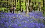 London (United Kingdom), 27/04/2021.- A woman pushes her bike amongst bluebell flowers in Wanstead Park in London, Britain, 27 April 2021. According to the National Trust, almost half the world's bluebells are found in the UK and they are relatively rare in the rest of the world. It is against the law to intentionally pick, uproot or destroy bluebells. (Reino Unido, Londres) EFE/EPA/NEIL HALL