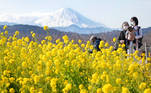 Ninomiya (Japan), 25/01/2021.- Visitors stroll through early-blooming rapeseed blossoms at Azumayama Park in full bloom as Mount Fuji is seen in the background in Ninomiya, west of Tokyo, Japan, 25 January 2021. Some 60,000 early-blooming rapeseed blossoms are in full bloom at the park as Mount Fuji is covered with snow due to precipitations over the weekend. (Japón, Tokio) EFE/EPA/JIJI PRESS JAPAN OUT EDITORIAL USE ONLY/ NO ARCHIVES