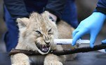 Arnhem (Netherlands), 04/02/2021.- One of three lion cubs is vaccinated against cat and sneezing disease in Burgers' Zoo in Arnhem, the Netherlands, 04 February 2021. The triplets were born more than two months ago in the Arnhem zoo. (Países Bajos; Holanda) EFE/EPA/PIROSCHKA VAN DE WOUW
