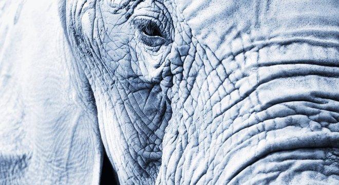Os elefantes estão entre os capazes de expressar esse sentimento