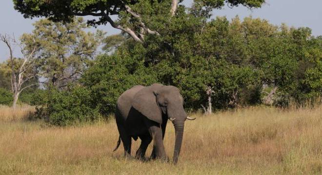 Elefante é fotografo em Botswana no delta do Okavango