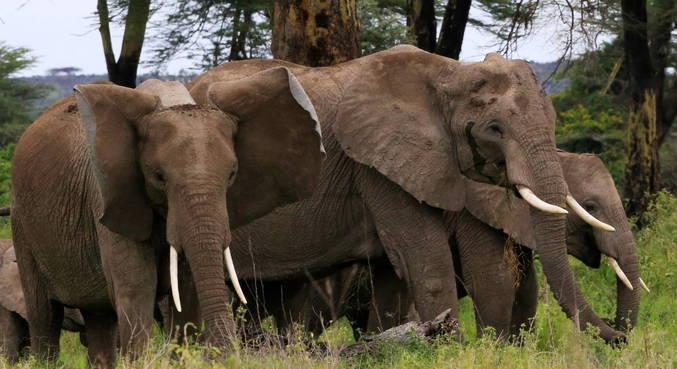 Suposto caçador morre pisoteado por elefantes na África do Sul
