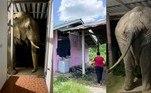 Ele atacou de novo!Plai Bunchuay, um elefante conhecido pela pilantragem e por quebrar casas para conseguir comida fácil, fez mais uma vítima. O animal agora entrou em uma residência para comer ração de gato