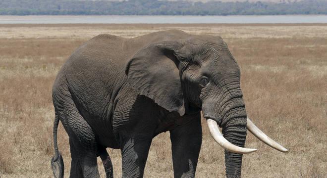 Elefante - principais hábitos, características e espécies vivas