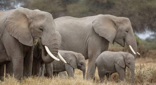 Grupo de elefantes é fotografado em parque nacional do Quênia