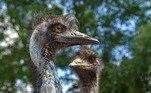 Dois irmãos emus — Kevin e Carol — foram banidos de um hotel no interior da Austrália, após causarem problemas no pub anexo a ele