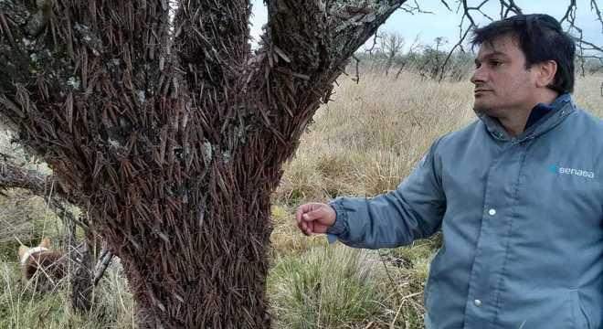 Engenheiro agrônomo Guillermo Fernández mostra gafanhotos na Argentina