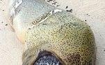 Esse foi o último jantar de uma enguia gulosa que não sabia dos perigos de tentar comer um baiacu: o peixe inchou e a matou. O corpo do animal foi encontrado na praia por um instrutor de mergulho