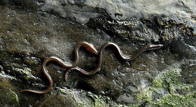 Enguias escalando um muro no País de Gales