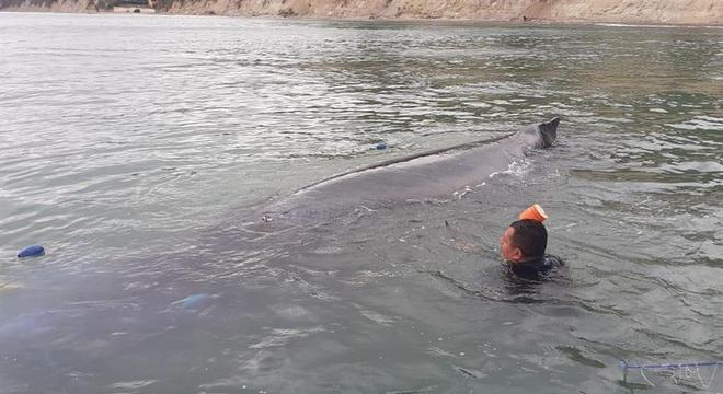 Baleia-jubarte de 8 metros estava presa a redes de pesca no litoral do Equador