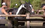 Salão de beleza na Fazendona!Gui Araujo ajuda o amigo Erasmo Viana a pentear e dá dicas de cuidados com o cavalo