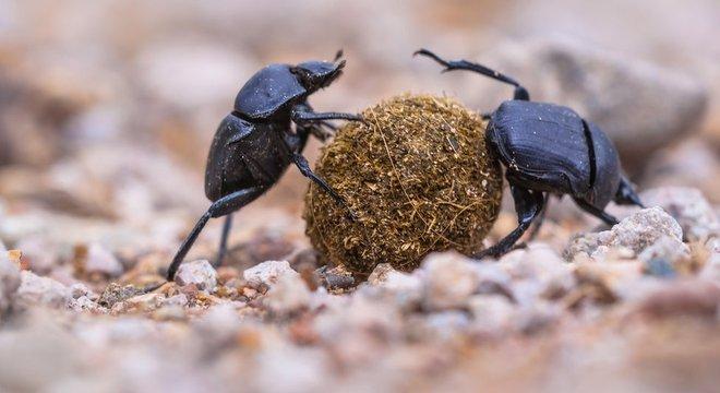 Besouros também estão em declínio, segundo o estudo Os riscos da redução do número de insetos