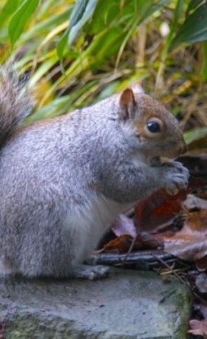 Esquilo cinza também vira prato