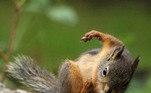 Com uma membrana que liga o dorso aos membros inferiores e posteriores, o que permite pequenos 'voos'VALE O CLIQUE:Esquilo 'cai de bêbado' e fica famoso após comer peras fermentadas