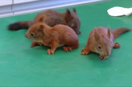 Os bebês esquilos perderam o ninho