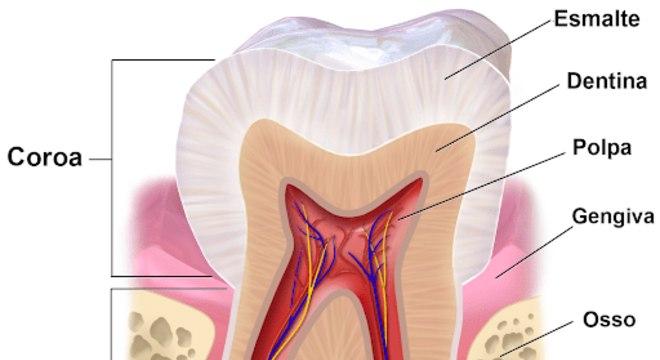 Estrutura dos dente - tipos, anatomia e o temido dente siso