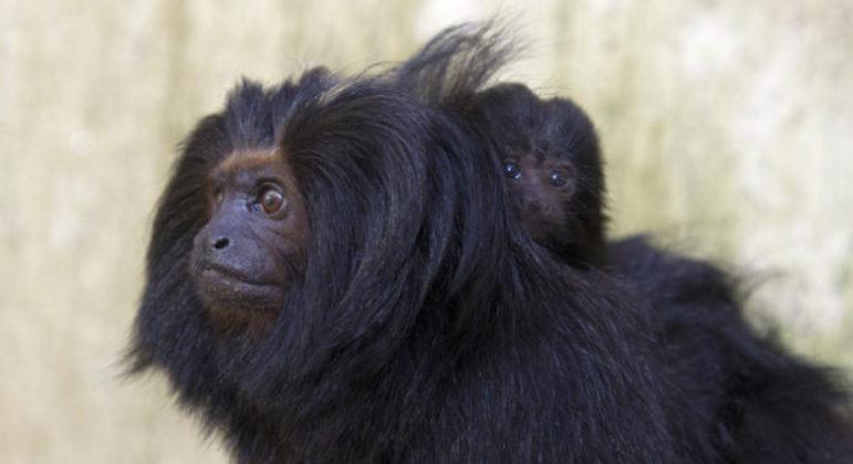 Família de mico-leão-preto do zoo de São Paulo