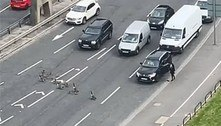 Família ganso na pista: aves param trânsito, mas encantam motoristas
