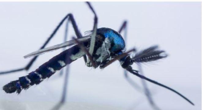 O mosquito Haemagogus é o transmissor da febre amarela silvestre no Brasil